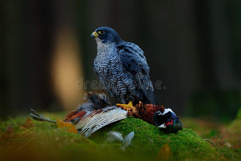Peregrine valk met vangstfazant Mooi het voeden van roofvogel Peregrine Falcon doden grote vogel op de groene mosrots met DA royalty-vrije stock afbeelding
