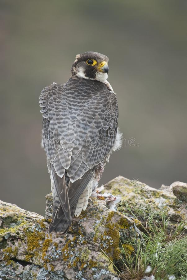 Peregrine valk op de rots Mannelijk portret, Falco-peregrinus royalty-vrije stock fotografie