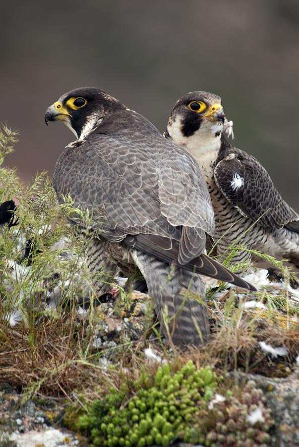 Peregrine valk op de rots Roofvogel, Paar, een Duif, Falco-peregrinus royalty-vrije stock foto