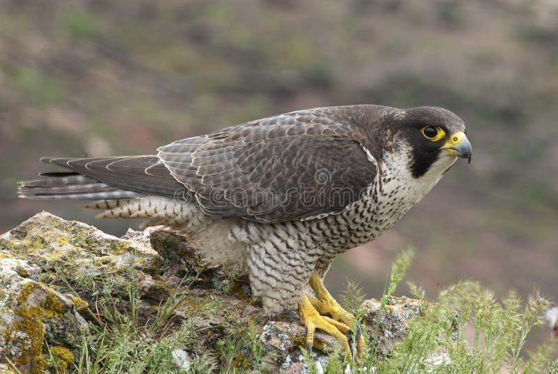 Peregrine valk op de rots Roofvogel, wijfje, Falco-peregrinus royalty-vrije stock foto