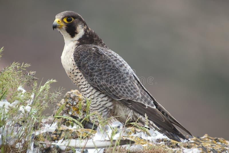 Peregrine valk op de rots Roofvogel, wijfje, Falco-peregrinus stock foto