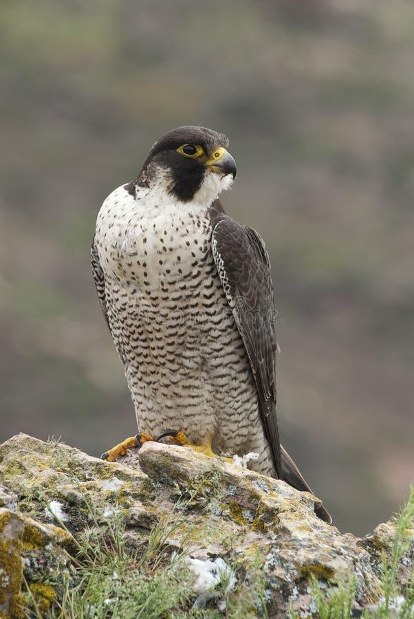 Peregrine valk op de rots, vrouwelijk portret, Falco-peregrinus stock afbeelding