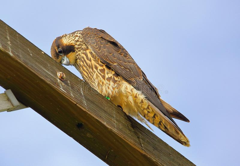 Peregrine Falcon giving the cold stare. This Peregrine was looking intently at the ground perched high above on a wooden trestle. The Falcon is a fast flyer and stock photo