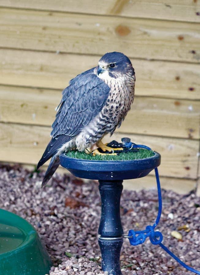 Peregrino y Merlin Falcon híbridos fotos de archivo