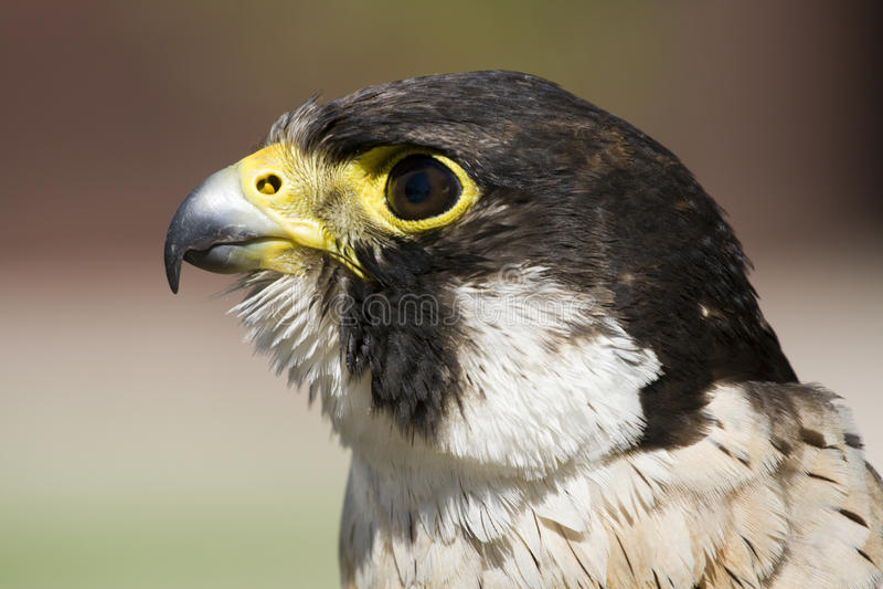 peregrinus чужеземца сокола falco стоковое изображение