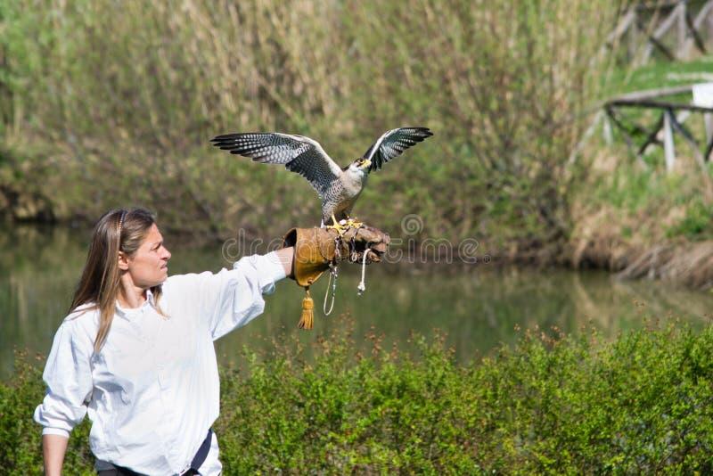 Peregrinus de Falco image stock