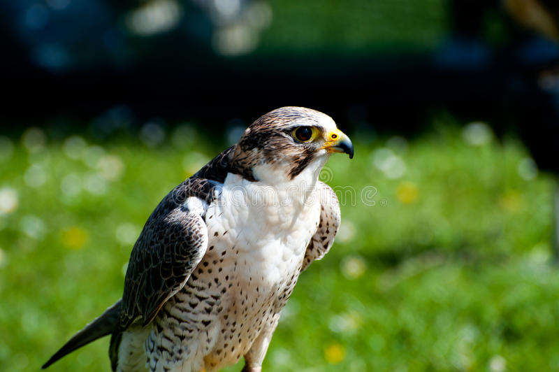 Peregrinus de Falco image libre de droits