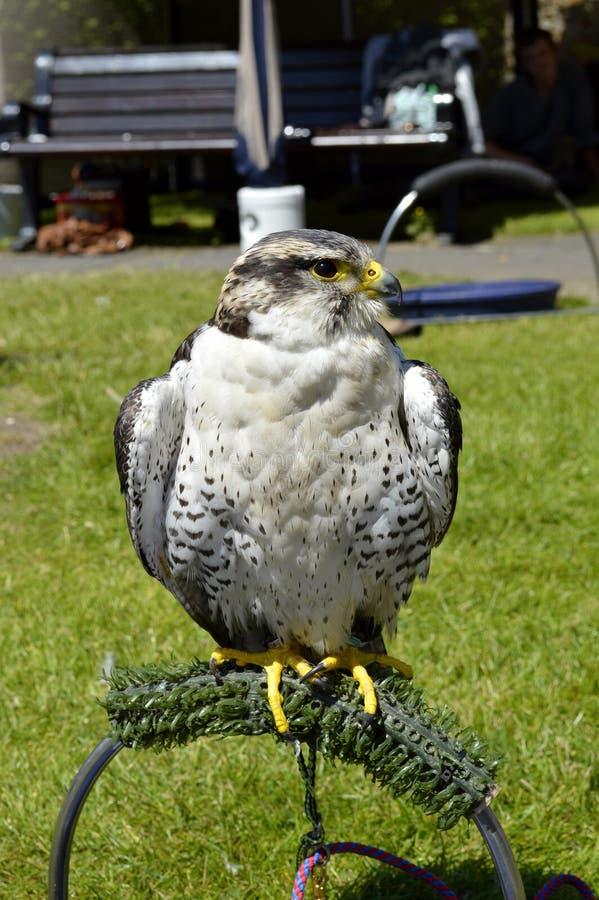 Peregrinus latino do falco do nome do falcão de peregrino fotografia de stock