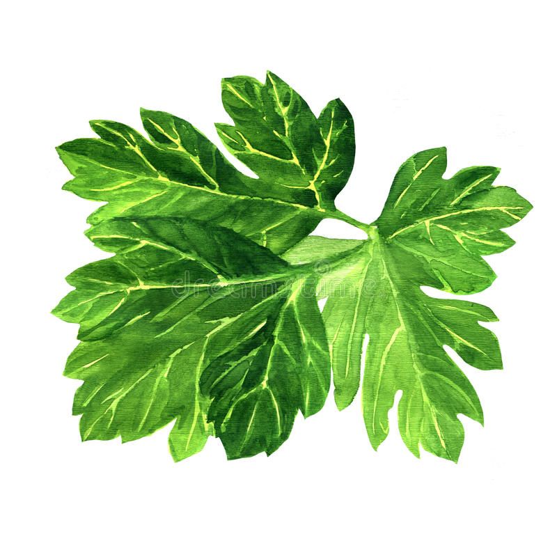 Perejil verde fresco en el fondo blanco imágenes de archivo libres de regalías