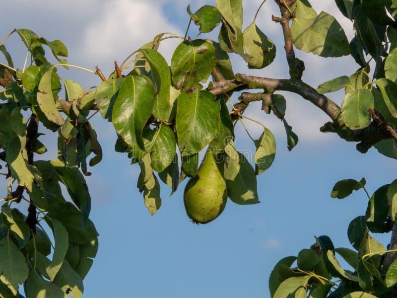 Peren die op een boom, gezond fruit groeien stock foto
