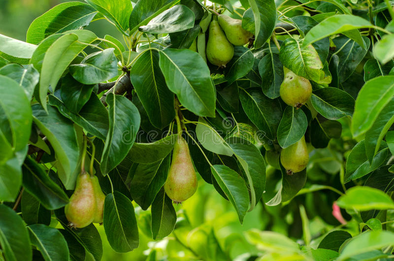 Peren en perenboom stock afbeeldingen