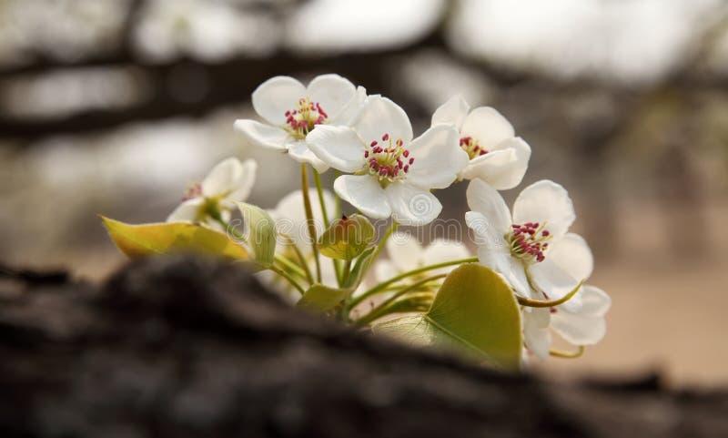 Perenbloem in April stock afbeelding