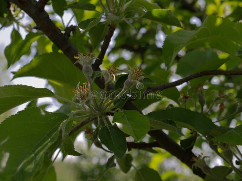 Perenbloemen aan vruchten transformatie stock foto's