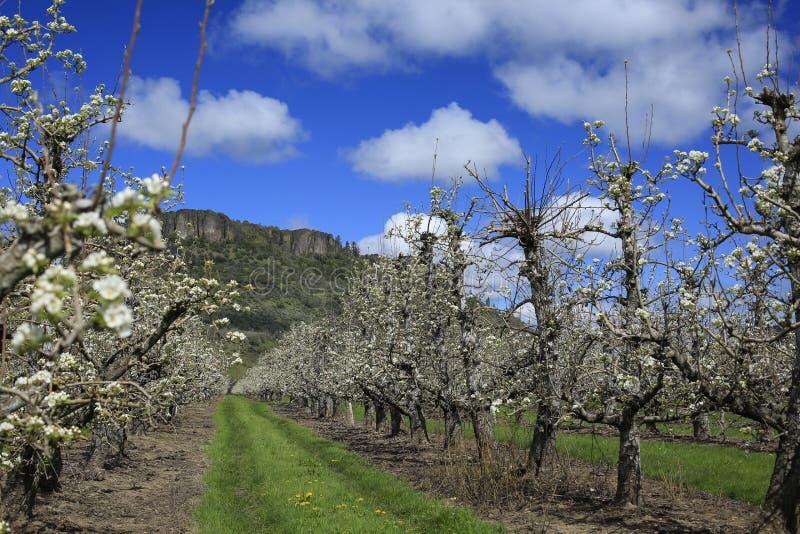 Perenboomgaard in bloei met Lijstrots in afstand stock afbeelding