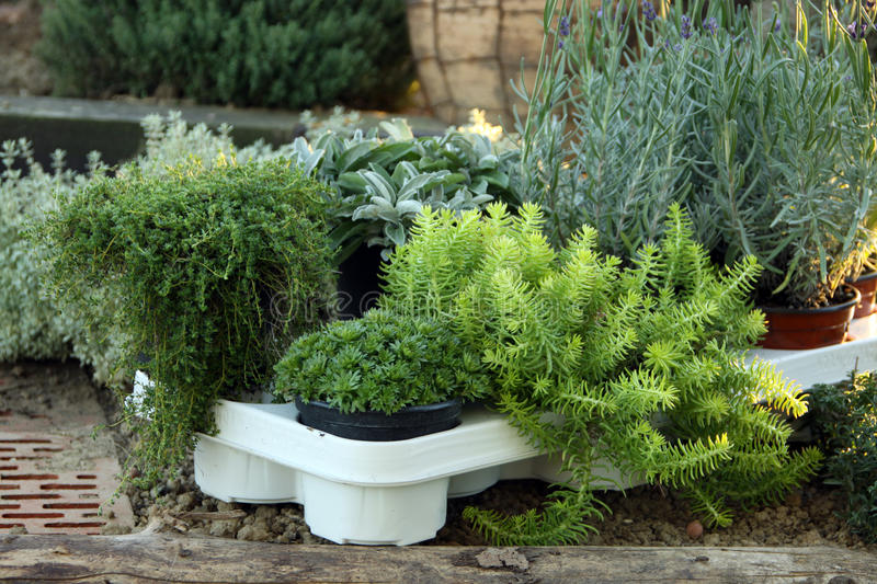 Download Perenial And Herbs Young Plant Stock Photo - Image: 21369308