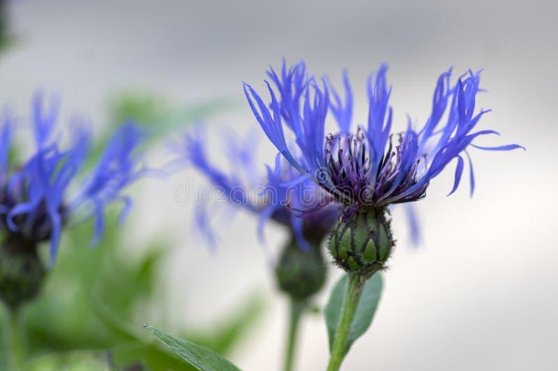 Perenn bl?klint f?r Centaureamontana berg i blom som blommar den dekorativa bl?ttv?xten arkivfoton