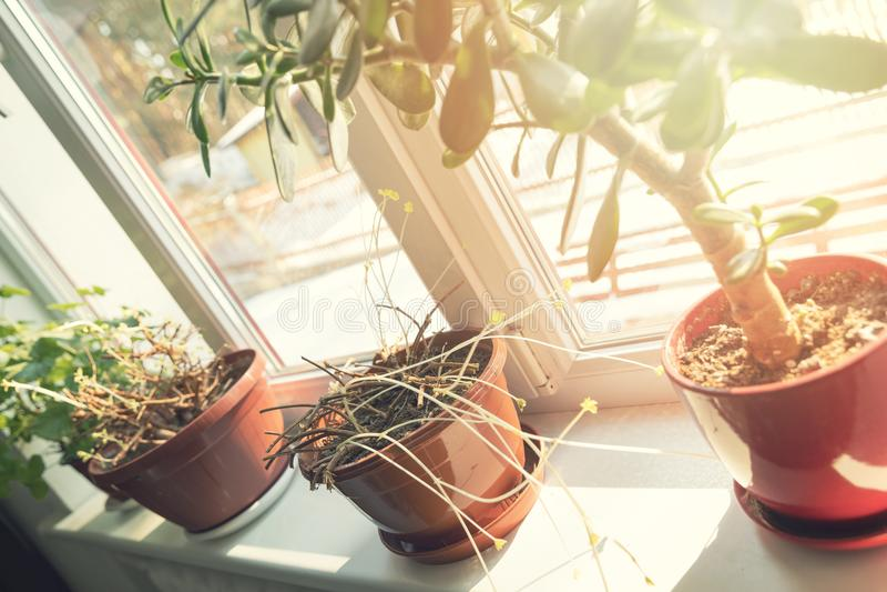 perenn pelargonia med nya groddar på fönsterfönsterbräda arkivbilder