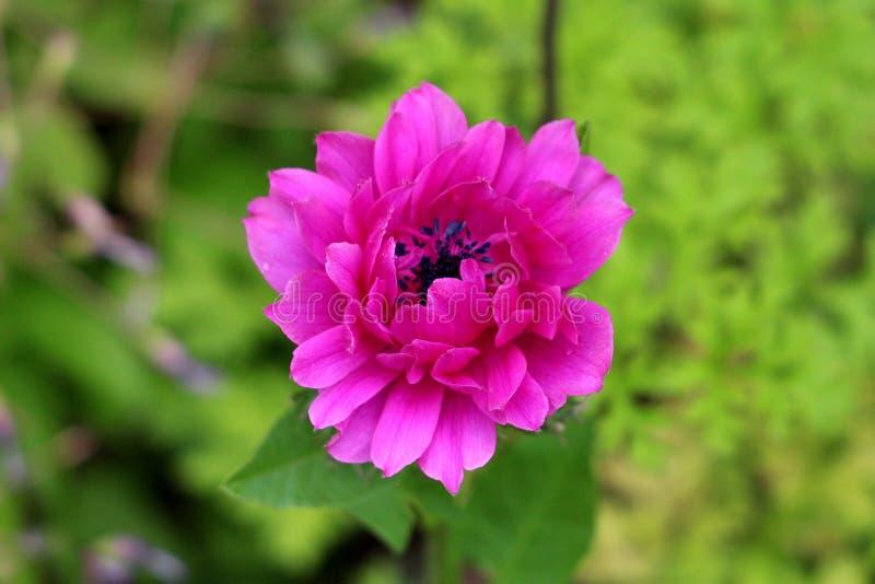 Perenn växt för anemon med mörka öppna blommande kronblad för rosa färger fullständigt och svarta mitten som växer i lokal stads- arkivfoton