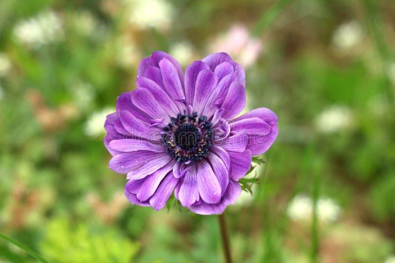 Perenn växt för anemon med violetta fullständigt öppna blommande kronblad och mörka svarta mitten som växer i lokal trädgård royaltyfria foton