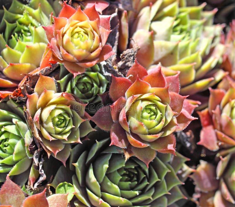 perenn växt för hönahönor arkivfoton