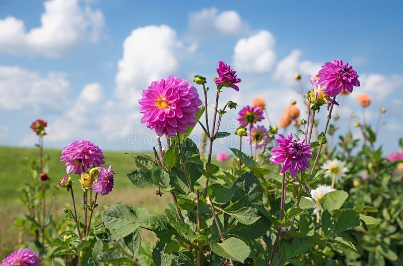 Perenn växt för rosa dahlia i fälten arkivfoto