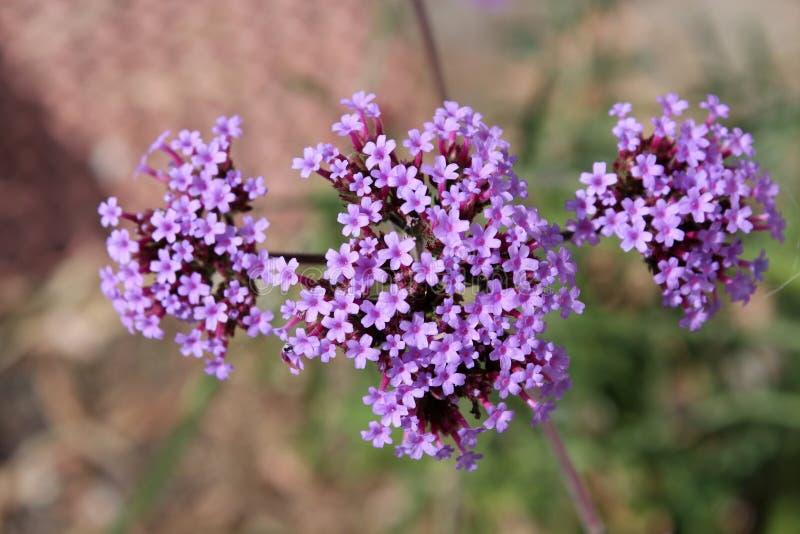 Perenn Verbenabonariensis i blomma fotografering för bildbyråer
