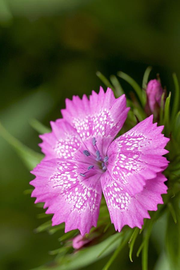 Perenne - specie dentellare del Dianthus immagine stock