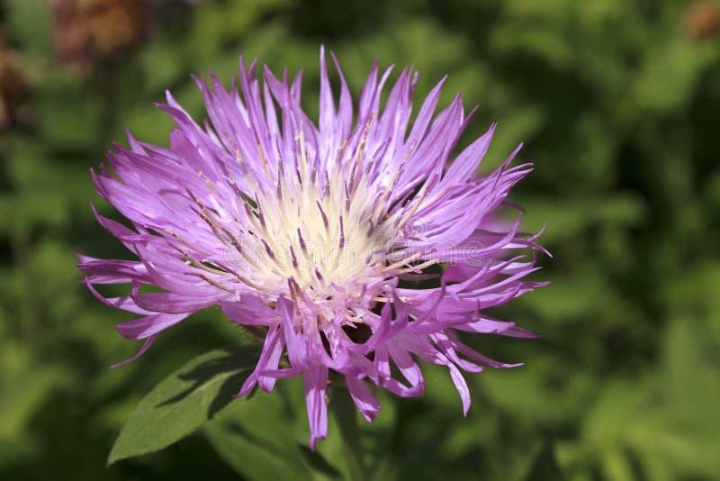 Perennial cornflower royalty free stock photos