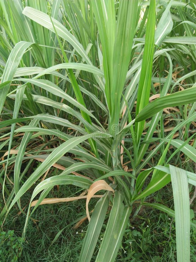 SUGARCANE ,SACCARAM OFFICINARUM. PERENNIAL GRASS IN THE FAMILY POACEAE GROWN FROM IT& x27;S STEM WHICH IS PRIMARILY USED TO PRODUCE SUCROSE .SUGARCANE HAS A royalty free stock image