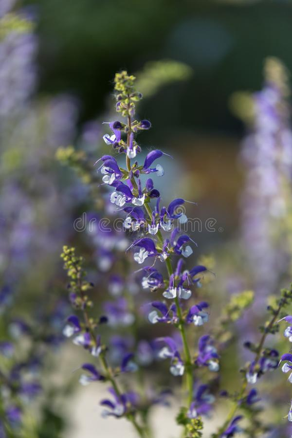 Perennial Herb with Beautiful Purple Efflorescence in the Garden.  stock photo