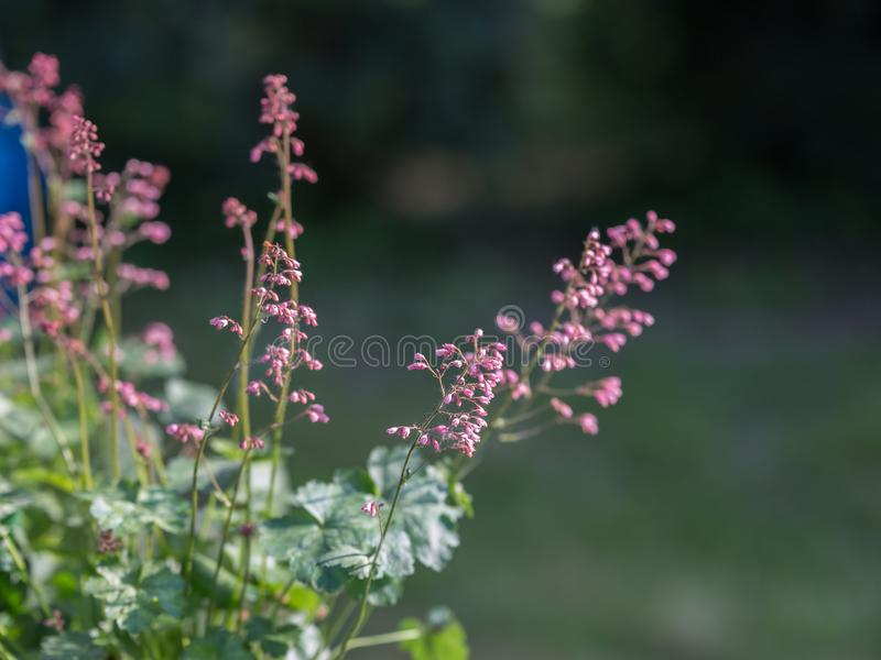 Perennial Herb with Beautiful Purple Efflorescence in the Garden.  royalty free stock images