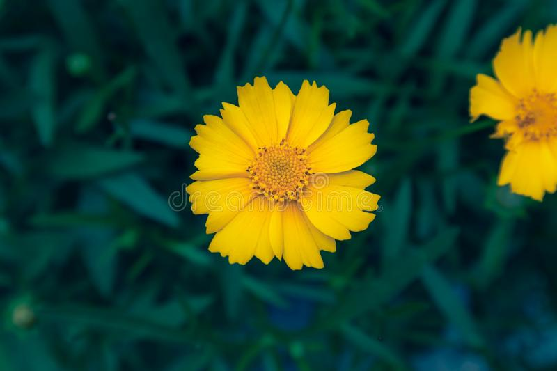 Coreopsis-Coreopsis drummondii Torr. et Gray. It is a perennial perennial herb of Compositae and chrysanthemum. Its leaves are mostly sparse, alternate, entire stock photography