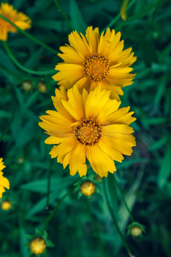 Coreopsis-Coreopsis drummondii Torr. et Gray. It is a perennial perennial herb of Compositae and chrysanthemum. Its leaves are mostly sparse, alternate, entire stock photo