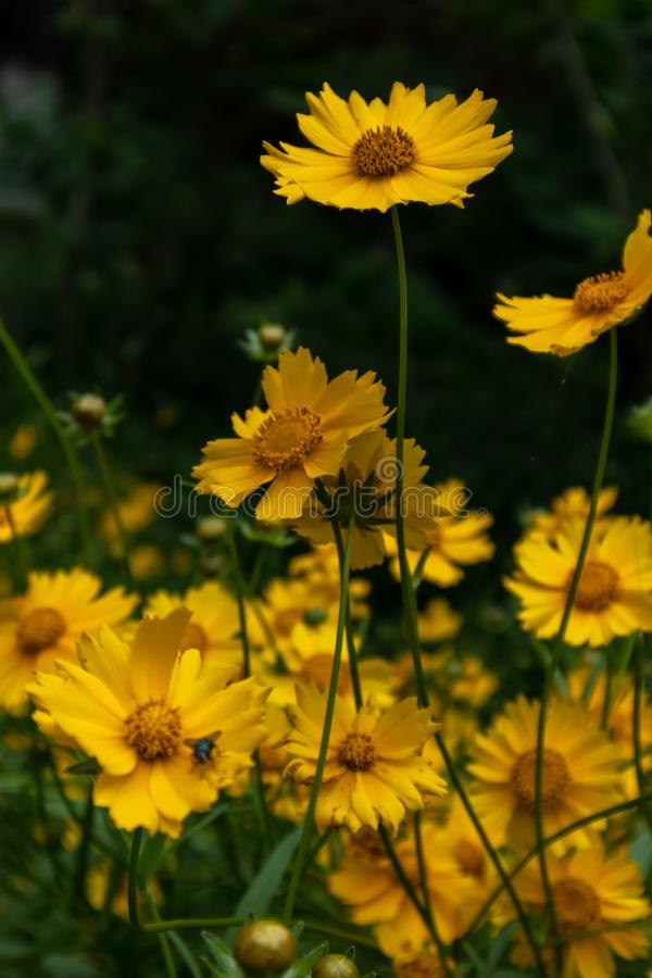 Coreopsis-Coreopsis drummondii Torr. et Gray. It is a perennial perennial herb of Compositae and chrysanthemum. Its leaves are mostly sparse, alternate, entire royalty free stock images