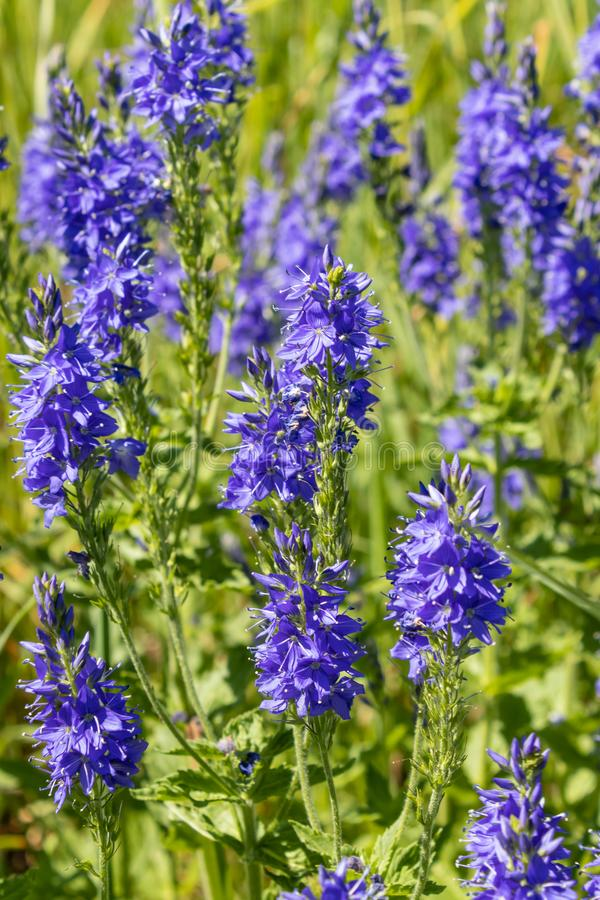 Perennial herb Veronica Teucrium. Grows in meadows, meadow steppes, forest edges. bright blue flowers, attract insects and bees. Perennial herb Veronica Teucrium stock photo