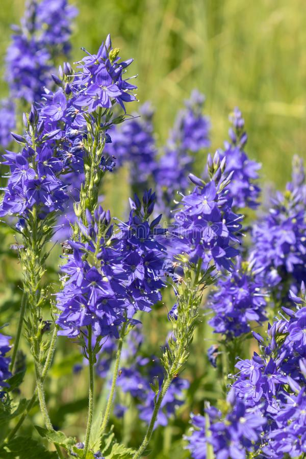 Perennial herb Veronica Teucrium. Grows in meadows, meadow steppes, forest edges. bright blue flowers, attract insects and bees. Perennial herb Veronica Teucrium stock photography