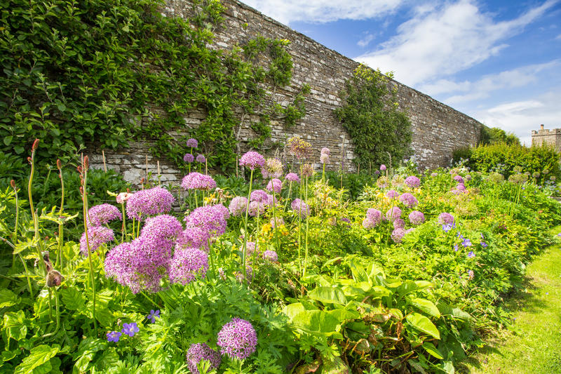 Alliums in Herbaceous border royalty free stock images