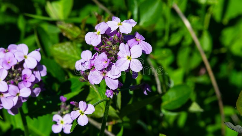 Perennial honesty or Lunaria rediviva flowers macro with bokeh background, selective focus, shallow DOF.  royalty free stock image