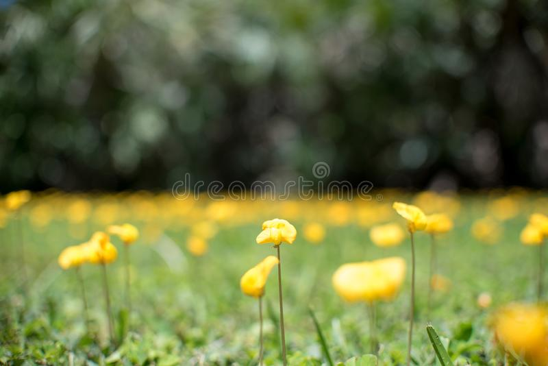 Perennial Peanut also yellow Arachis pintoi flower royalty free stock photo