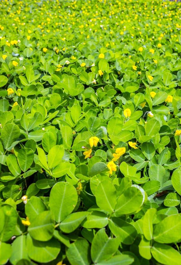 Download Perennial Peanut Foliage stock photo. Image of yellow - 28450034