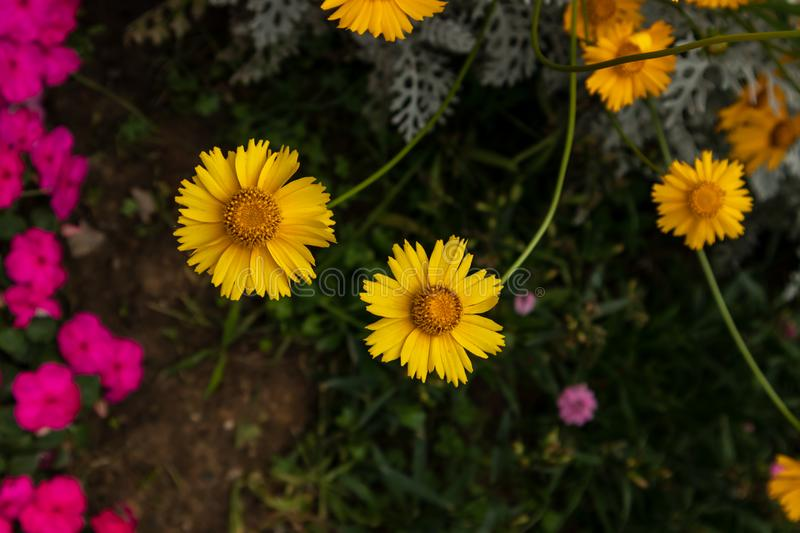 Coreopsis-Coreopsis drummondii Torr. et Gray. It is a perennial perennial herb of Compositae and chrysanthemum. Its leaves are mostly sparse, alternate, entire royalty free stock photos