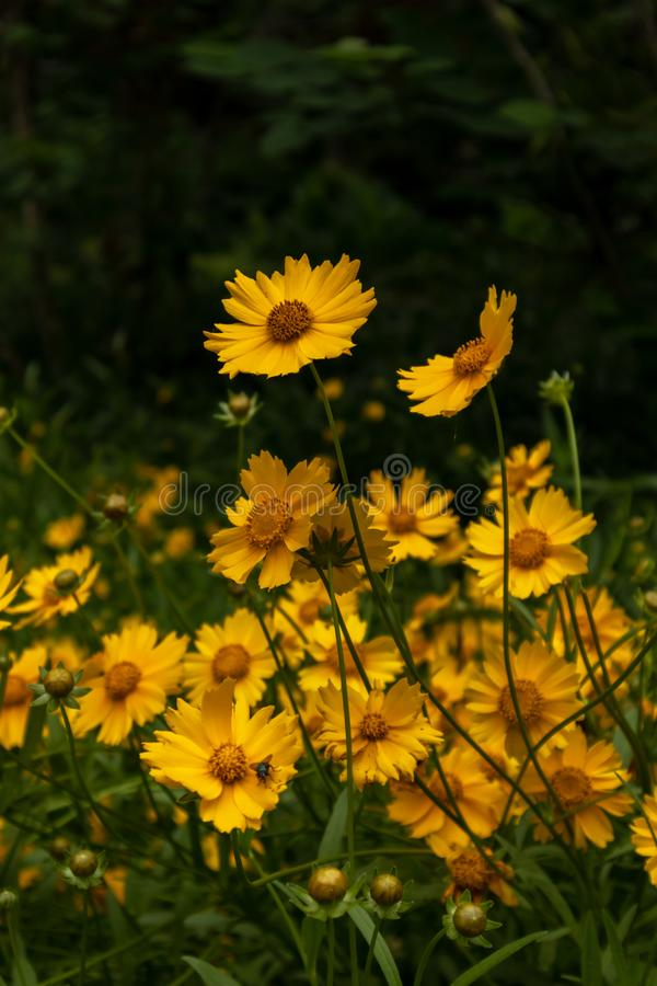 Coreopsis-Coreopsis drummondii Torr. et Gray. It is a perennial perennial herb of Compositae and chrysanthemum. Its leaves are mostly sparse, alternate, entire stock images