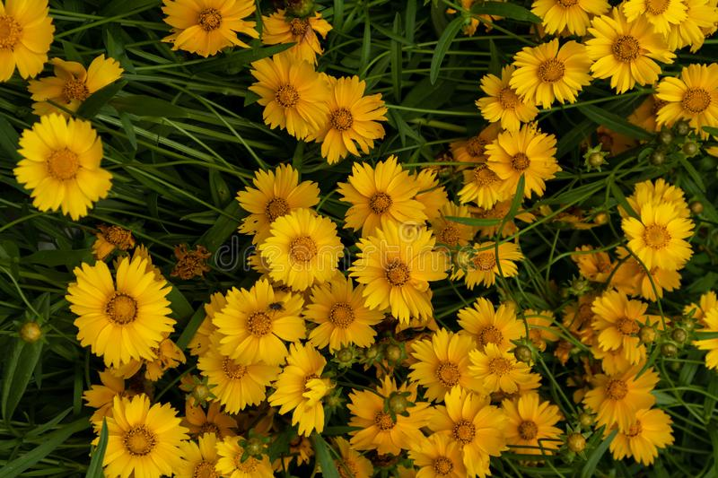 Coreopsis-Coreopsis drummondii Torr. et Gray. It is a perennial perennial herb of Compositae and chrysanthemum. Its leaves are mostly sparse, alternate, entire stock image