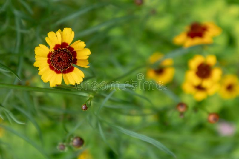Coreopsis drummondii Torr. et Gray. It is a perennial perennial herb of Compositae and chrysanthemum. Its leaves are mostly sparse, alternate, entire, lobed or stock image