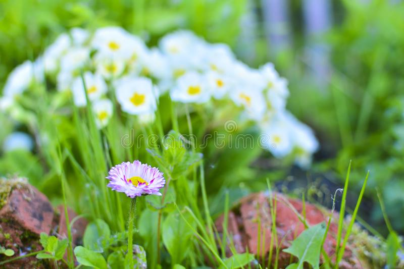 Perennial plant Daisy Bellis among green grass. Daisies among a grass close up. Pink Daisy Macro. A background flower vegetable royalty free stock photography