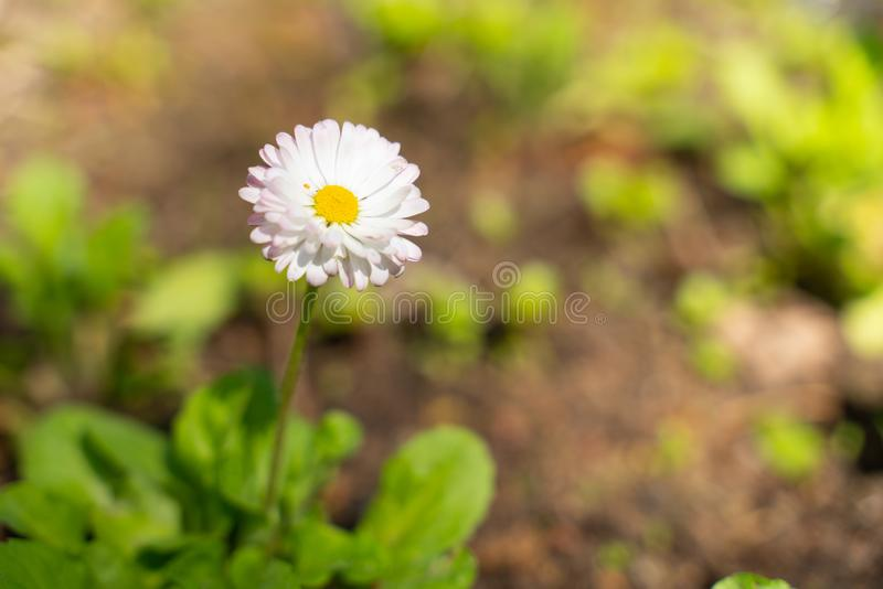 Perennial plant Daisy a representative of the family of Aster small flowers of white color. A perennial plant of the Daisy family Asteraceae representative of stock photos