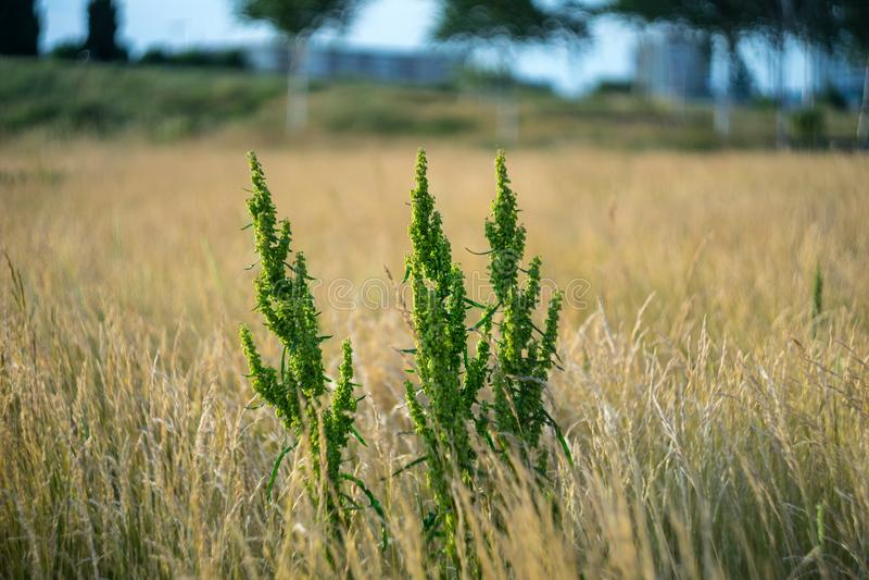 Perennial plant Rumex crispus stock images