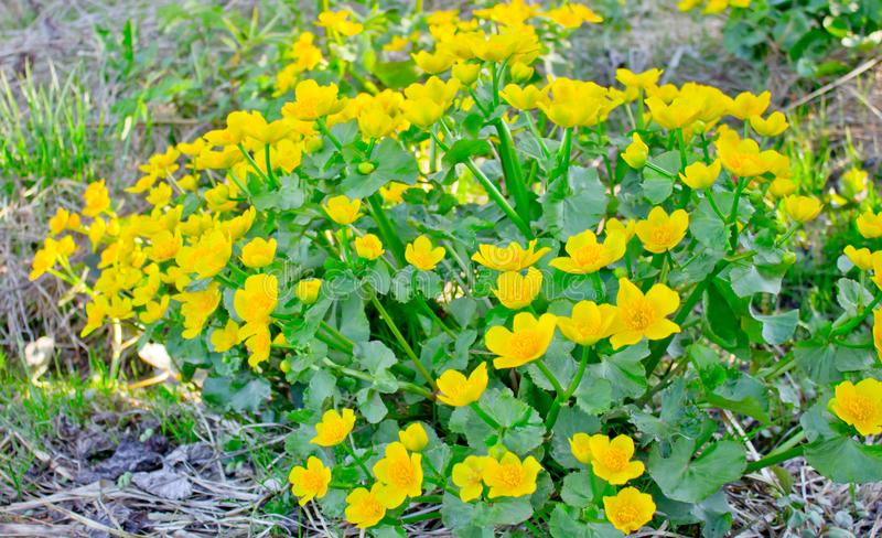 Perennial plant with yellow flowers growing in wet soil-marsh marigold stock photos