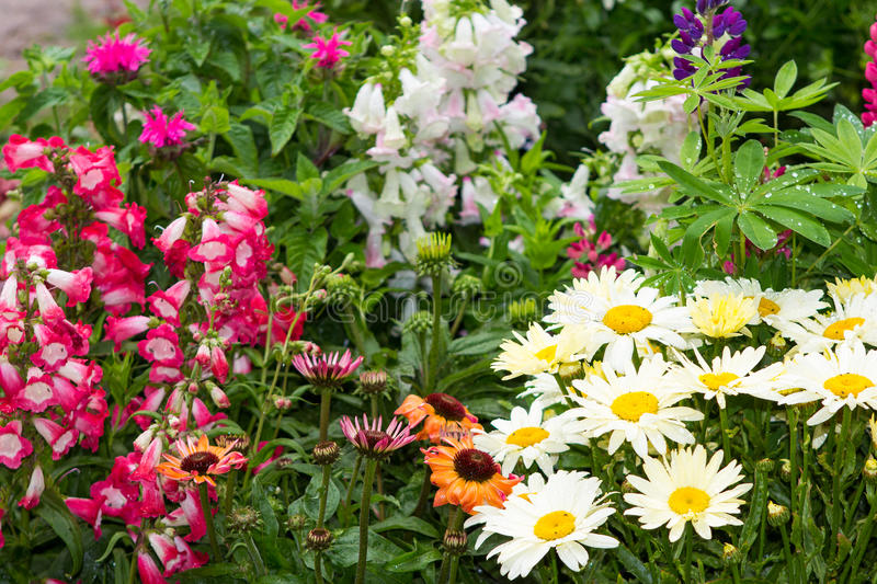 Perennial plants in the garden. Perennial plants with many blossoms in the garden royalty free stock images