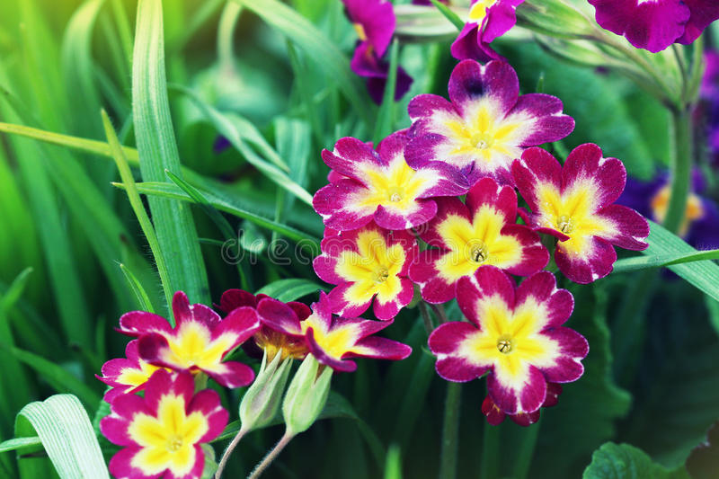 Perennial primrose or primula in the spring garden. Spring primroses flowers, primula polyanthus. The beautiful pink. Colors primrose flowers garden royalty free stock photos